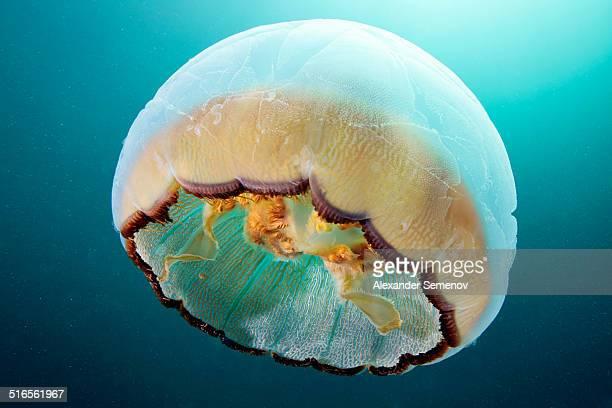 moon jellyfish - aurelia limbata - sea of okhotsk stock pictures, royalty-free photos & images