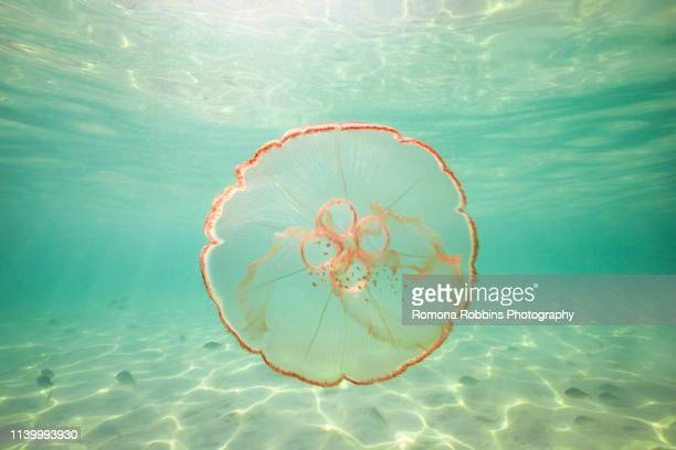 moon jellyfish harbouring baby fish for protection against predators - florida nature stock pictures, royalty-free photos & images