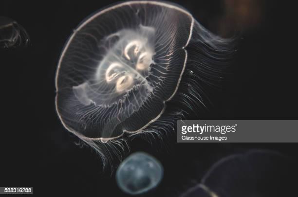 moon jellyfish, national aquarium, baltimore, maryland, usa - phosphorescence stock pictures, royalty-free photos & images