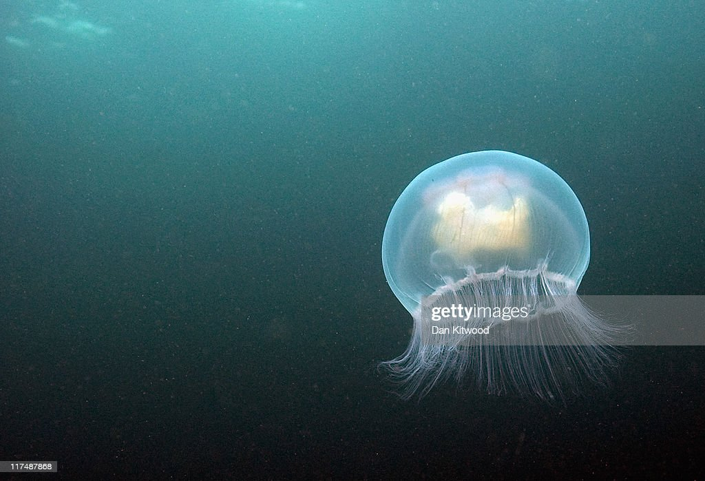 A Moon jellyfish swims beneath the waters of Inner Farne on June 26, 2011 at the Farne Islands, England. The Farne Islands, which are run by the National Trust, are situated two to three miles off the Northumberland coastline. The archipeligo of 16-28 separate islands (depending on the tide) make the summer home to approximately 100,000 pairs of breeding seabirds including around 36,000 Puffins, 32,000 Guillemots and 2,000 pairs of Arctic Terns. The species of birds which nest in internationally important numbers include Shag, Sandwich Tern and Arctic Tern. The coastline around The Farnes are also the breeding ground to one of Europe's largest Grey Seal colonies with around 4,000 adults giving birth to 1500 pups every year.