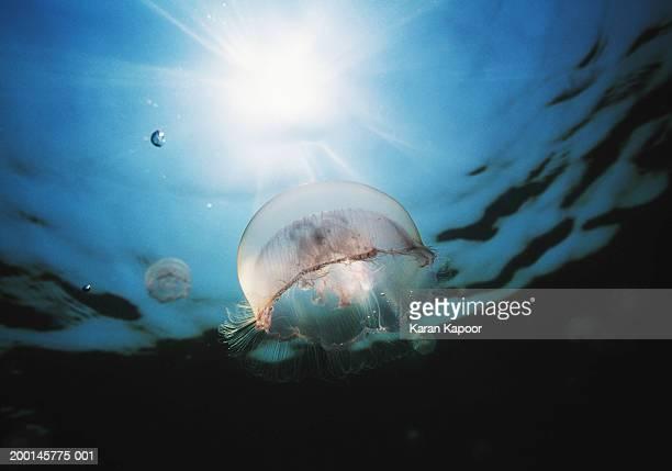 Moon Jellyfish (Aurelia aurita), underwater view