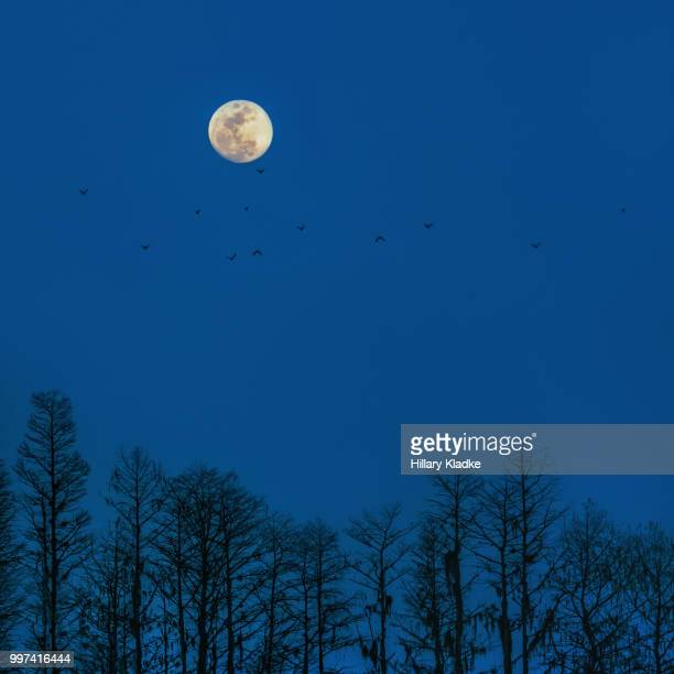 moon with bats over forest - celebration fl stock pictures, royalty-free photos & images