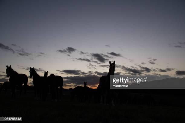 maan met paarden - paard paardachtigen stockfoto's en -beelden