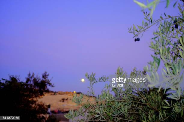 Moonlight Blues, Jerusalem a full moon on the mount of Olives and olive tree