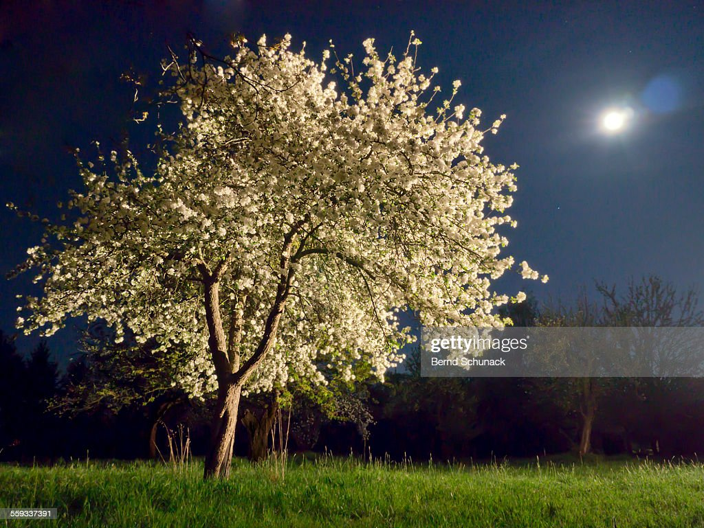 Moonlit Blooming Tree : Stock Photo