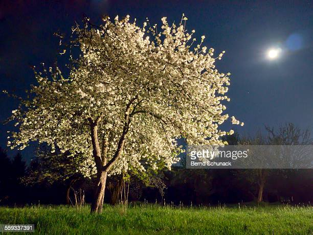 moonlit blooming tree - bernd schunack stock pictures, royalty-free photos & images