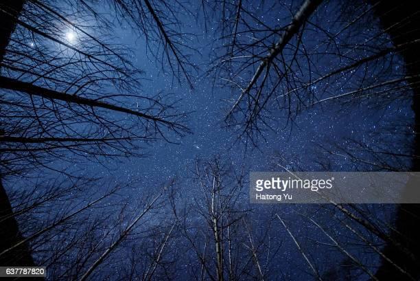 Moonlit winter birch trees