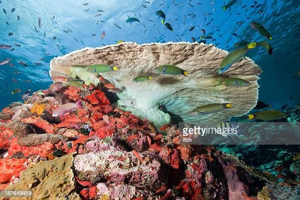 moonwrasses and anthias under table coral, komodo national park, indonesia - indo pacific ocean stock pictures, royalty-free photos & images