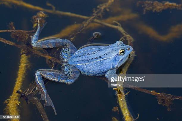 Moor Frog blue coloured male floating in pond during the breeding season in spring