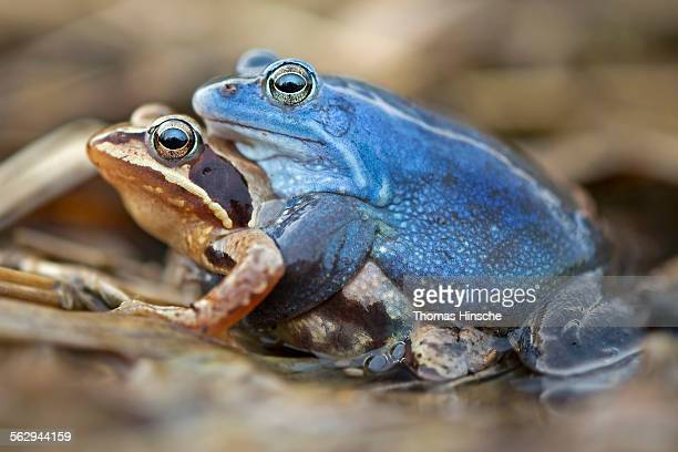 Moor Frogs -Rana arvalis-, mating, Middle Elbe, Saxony-Anhalt, Germany