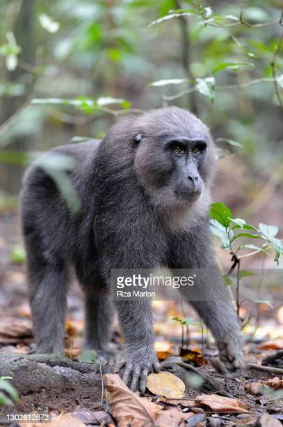 moor macaque - sulawesi stock pictures, royalty-free photos & images