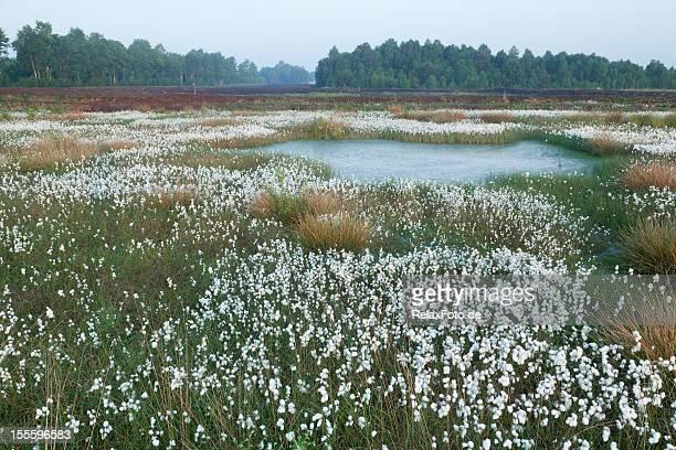 Moor aus Baumwolle mit Gras im Frühjahr, Lower Sachsen, Deutschland