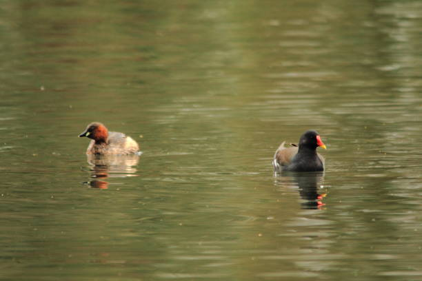 Moorhen & Little Grebe at Tredegar House Country Park, Newport
