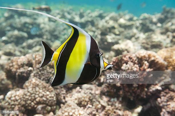 ide fish (zanclus cornutus) natation sur un récif (xxxl - id��e photos et images de collection