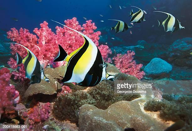 moorish idol (zanclus comutus) over reef (digital composite) - id��e photos et images de collection