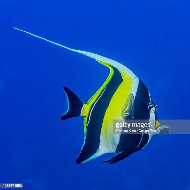 moorish idol (zanclus cornutus) photographed while scuba diving the kona coast - id��e photos et images de collection