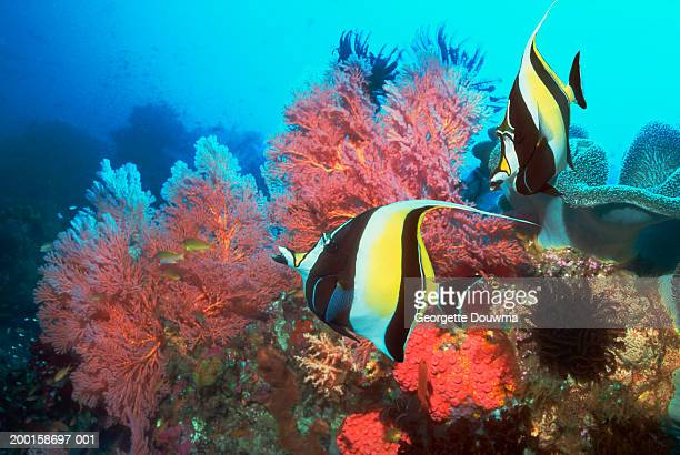 moorish idols (zanclus cornutus) over coral reef (digital composite) - id��e photos et images de collection