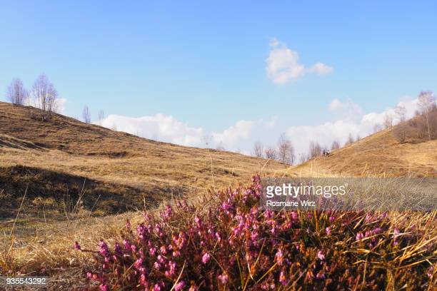 Moorland landscape with flowering heather