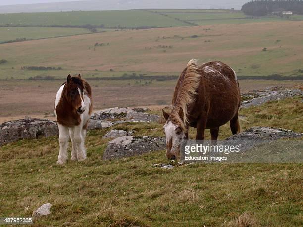 Moorland ponies Bodmin Moor Cornwall UK