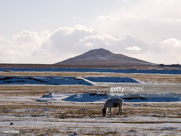 Moorland pony in the snow