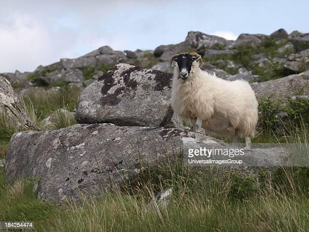 Moorland Sheep Bodmin Moor Cornwall UK