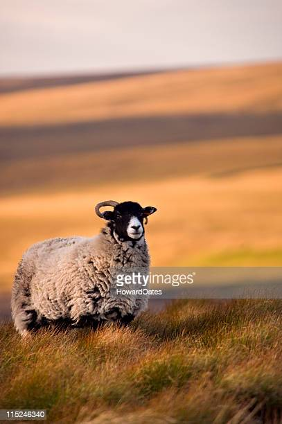 moorland sheep in autumn light - male animal stock pictures, royalty-free photos & images