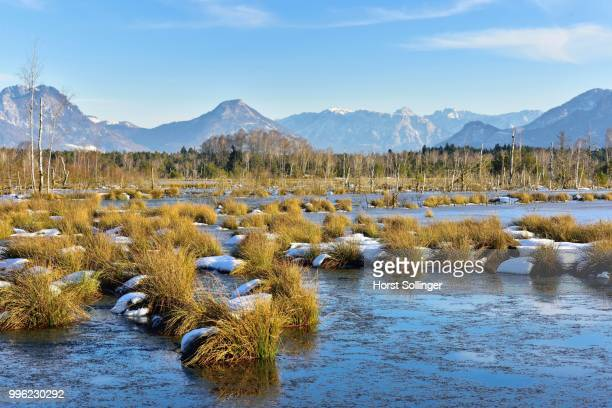 Moorlands in winter, bog covered with ice, Common Club-rushes or Bulrushes (Schoenoplectus lacustris), at the back the Bavarian Alps with the Inn Valley, Grundbeckenmoor near Raubling, Bavaria, Germany