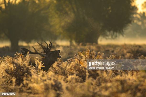 moose amidst plants on field during sunset - animal call stock pictures, royalty-free photos & images