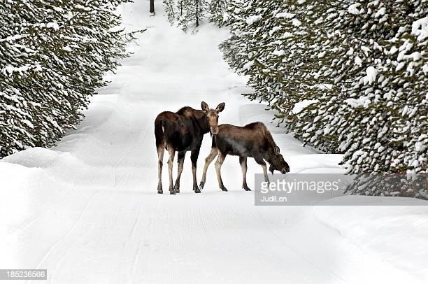 Moose Calf und spazieren Sie durch die mit Schnee bedeckten Anmeldung trail