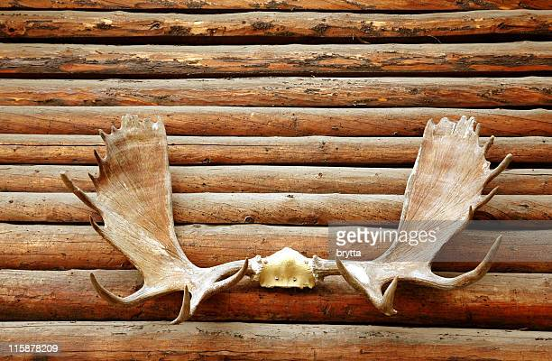 Moose antler hanging on the logs of a wooden wall.