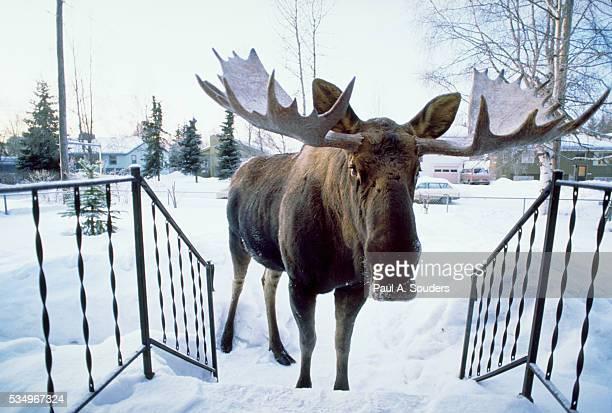 moose approaching front porch - älg bildbanksfoton och bilder