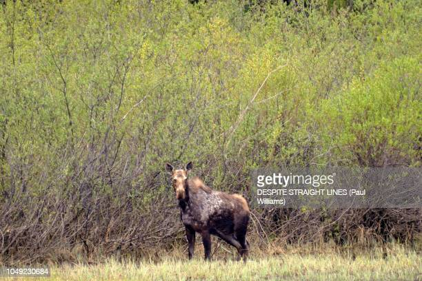 Moose (Alces Alces), at Crooked River, Bear Lake, British Columbia in Canada