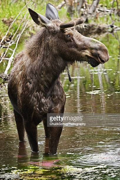 Toro Alces Alces Drooling Animal
