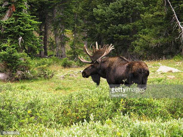 Moose Bull  Alces Wilderness Antlers
