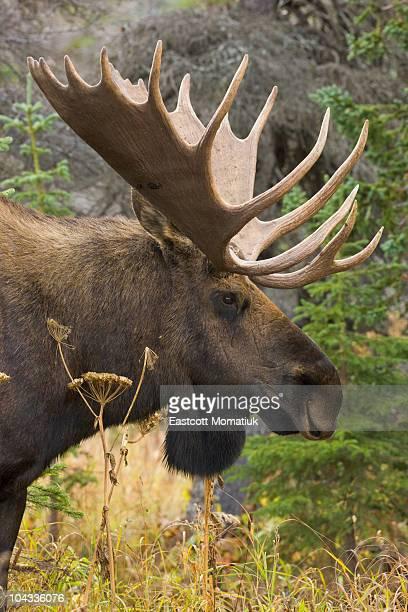 Moose bull, Chugach State Park, Alaska