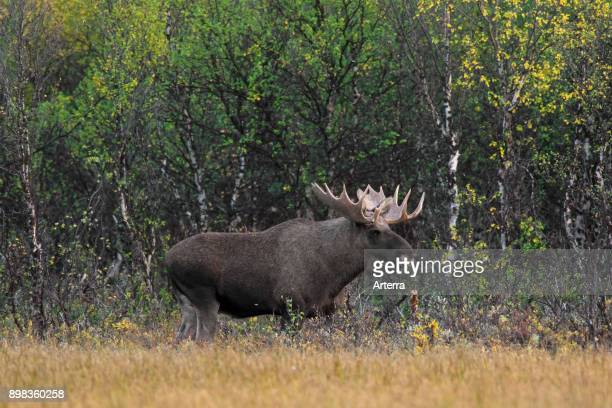 Moose bull foraging in moorland with birch trees in autumn Scandinavia