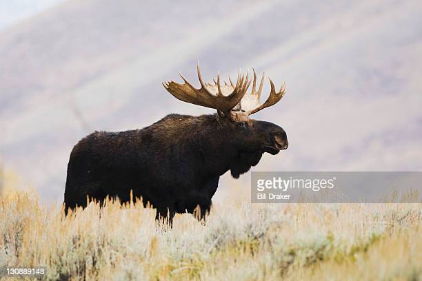 Moose (Alces alces), bull, Grand Teton National Park, Wyoming, USA
