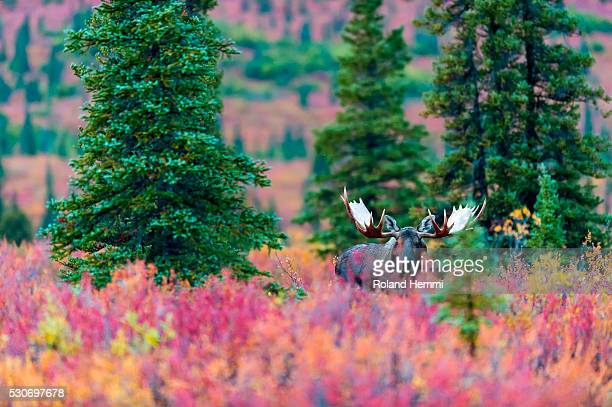Moose bull in the autumn coloured bushes; Denali, Alaska, United States of America