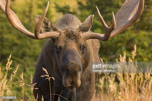 Moose bull with antlers,Chugach State Park, Alaska