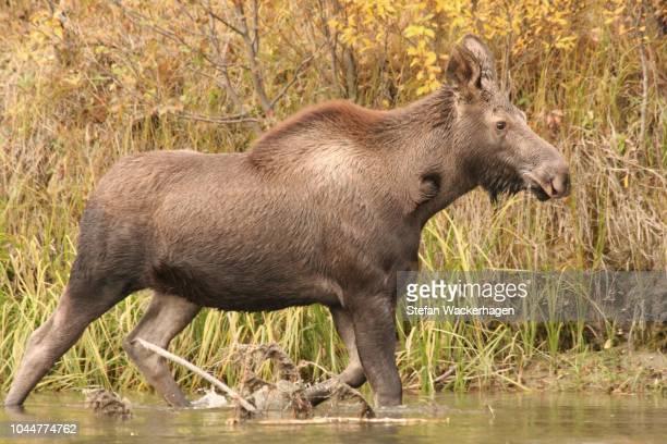 moose calf, alaska / yukon moose, alces alces gigas, runs through water, big salmon river, yukon territory, canada - vista lateral stock pictures, royalty-free photos & images