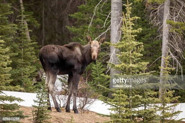 Moose calf, Alces alces, in Kananaskis Country, Alberta, Canada.