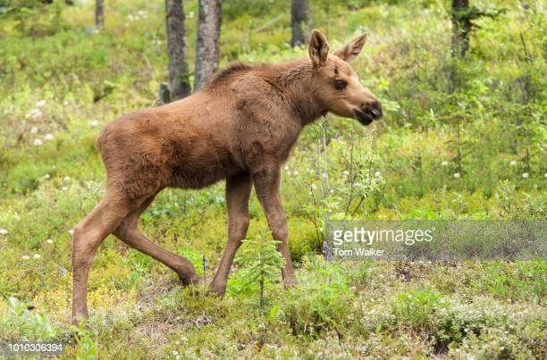 Moose, Calf, Spring, Alaska