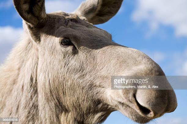 A moose, close-up, Sweden.