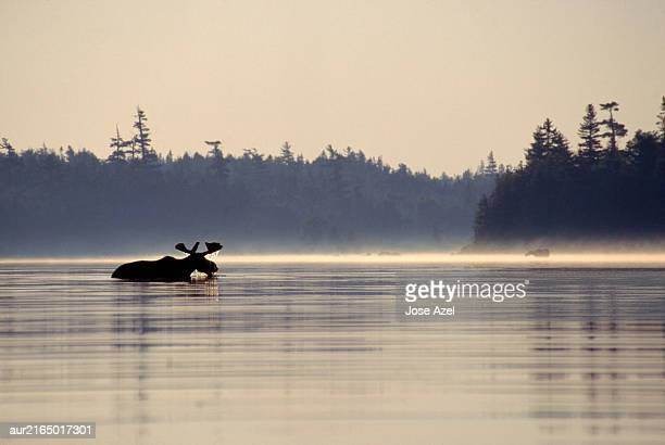 a moose cooling off half immersed in the river, maine, usa. - メイン州 ストックフォトと画像