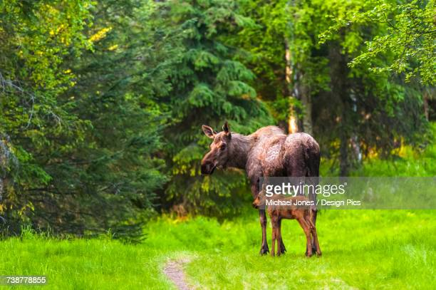 A moose cow and her calf are standing on one of many trails in Kincaid Park in Anchorage Southcentral Alaska, USA