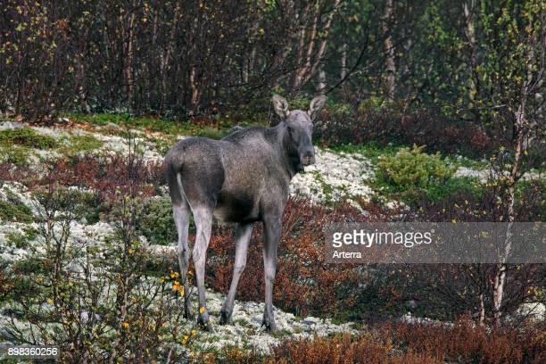 Moose cow foraging on the taiga in autumn Scandinavia