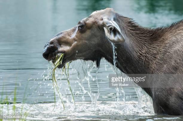 Moose, Cow, Summer, Feeding in pond, Alaska