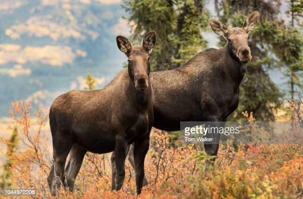 Moose; Cow, Twins, Autumn, Denali National Park, Alaska