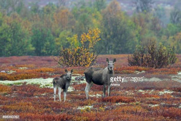 Moose cow with calf foraging in moorland in autumn Scandinavia