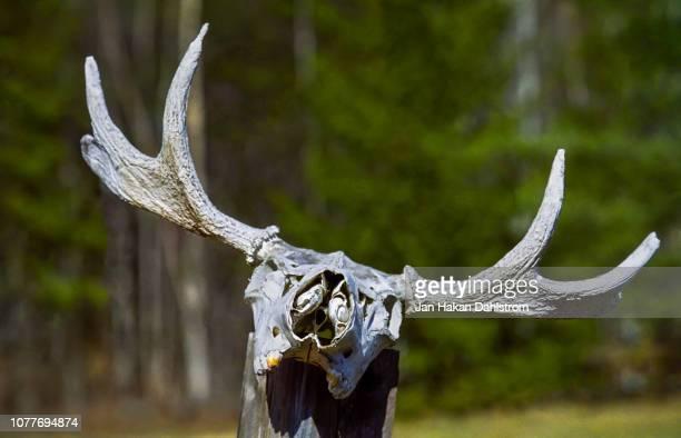 moose cranium antler